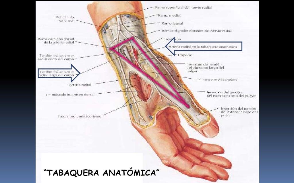 Encantador Anatomía Polea A1 Imágenes - Anatomía y Fisiología del ...