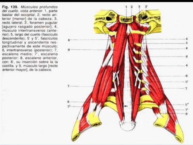 Músculos cabeza cuello