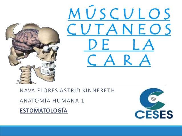 MÚSCULOS CUTANEOS DE LA C A R A NAVA FLORES ASTRID KINNERETH ANATOMÍA HUMANA 1 ESTOMATOLOGÍA