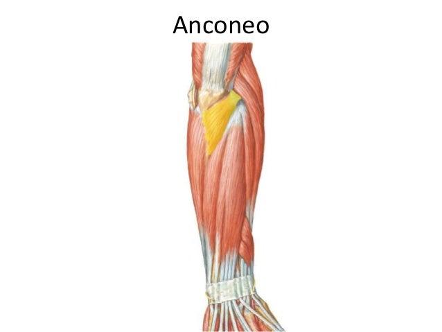 Músculos de antebrazo