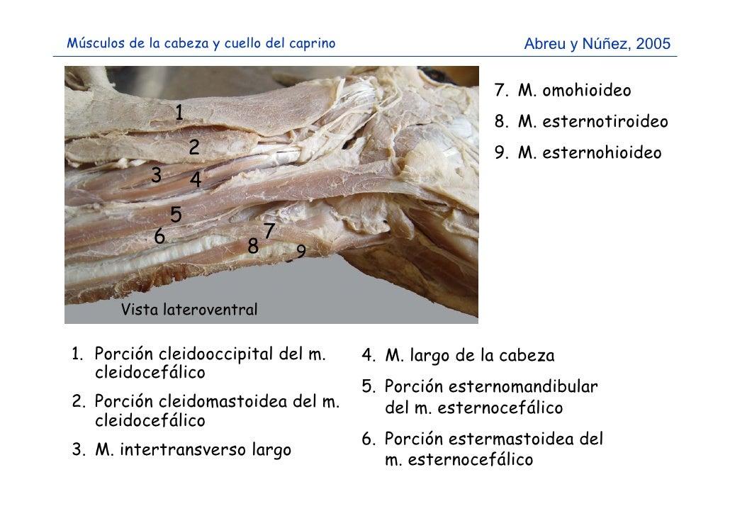 M sculos de la cabeza y cuello del caprino reconocimiento for Esternohioideo y esternotiroideo
