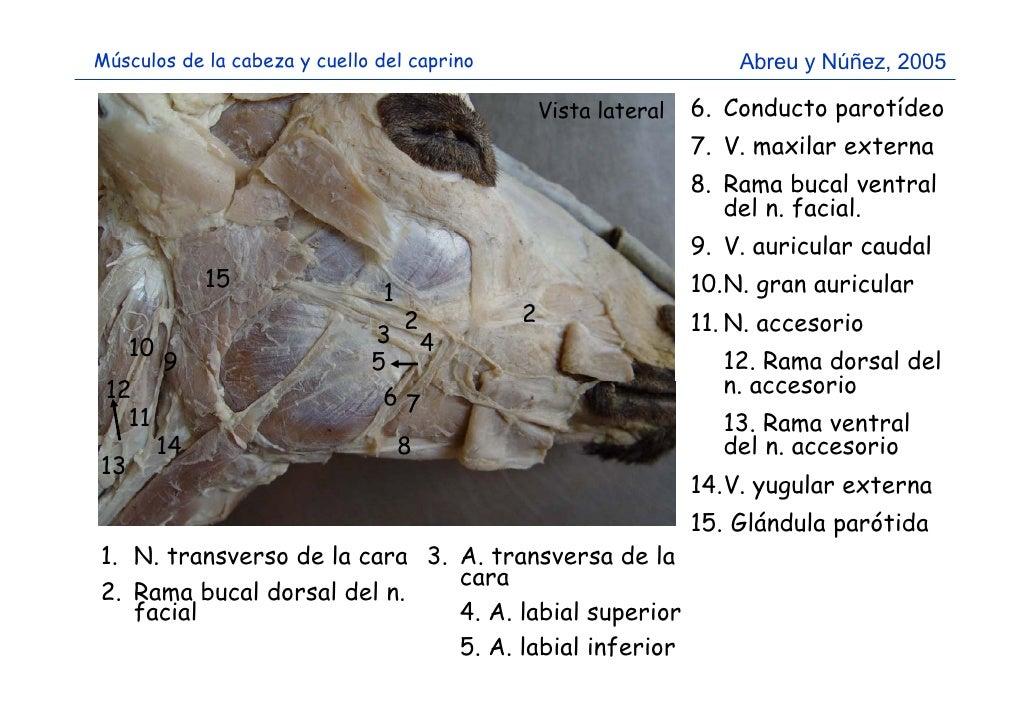 Músculos de la cabeza y cuello del caprino (reconocimiento)