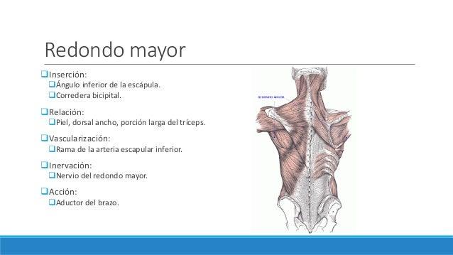 Músculos de la cintura escapular