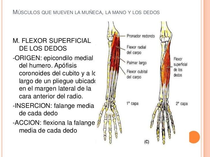 De la distensión de los músculos en la muñeca - Lesiones deportivas ...