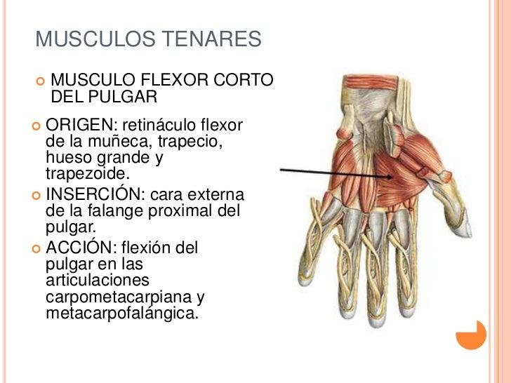 Excelente Articulaciones Del Pulgar Diagrama Anatomía Imágenes ...