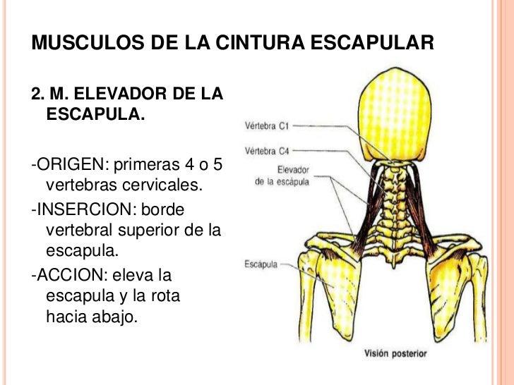 MúSculos De La Cintura Escapular Y Las Extremidades Superiores.