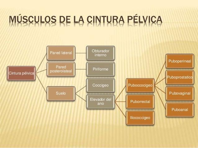 Músculos de la cintura pélvica y periné