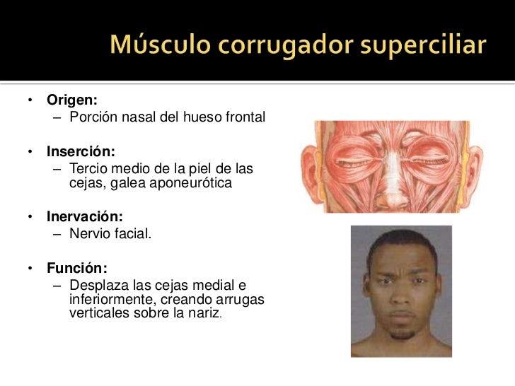 Músculo corrugador superciliar<br /><ul><li>Origen: