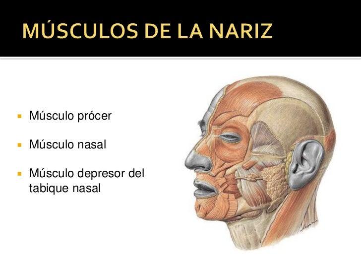 Tercio medio de la piel de las cejas, galea aponeurótica