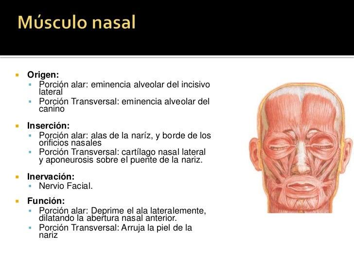 Desplaza las cejas medial e inferiormente, creando arrugas verticales sobre la nariz.</li></li></ul><li>MÚSCULO CORRUGADOR...