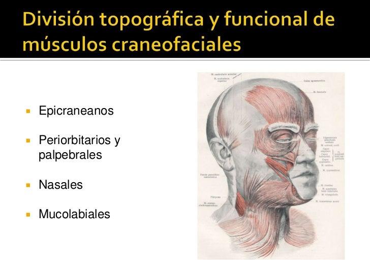 División topográfica y funcional de músculos craneofaciales<br />Epicraneanos<br />Periorbitarios y palpebrales<br />Nasal...