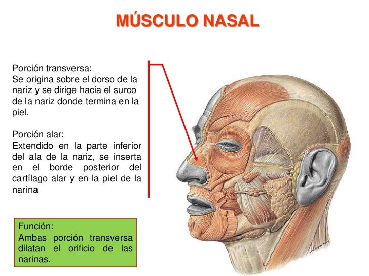 Músculo depresor de la ceja<br /><ul><li>Origen: