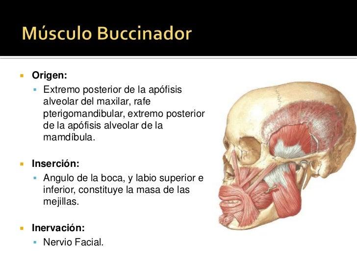 Músculo prócer<br />Origen: <br />Hueso nasal y cartílago nasal lateral<br />Inserción: <br />Piel de la glabela<br />Iner...