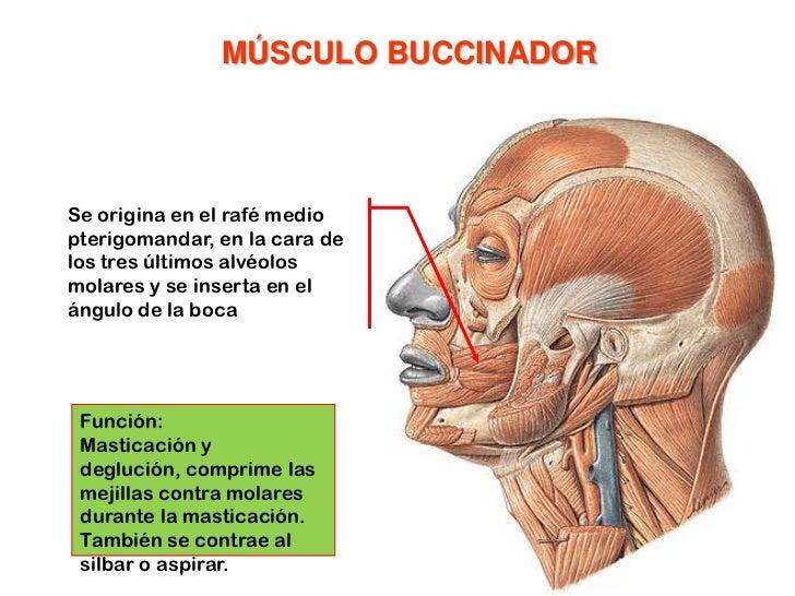 Músculo prócer<br />