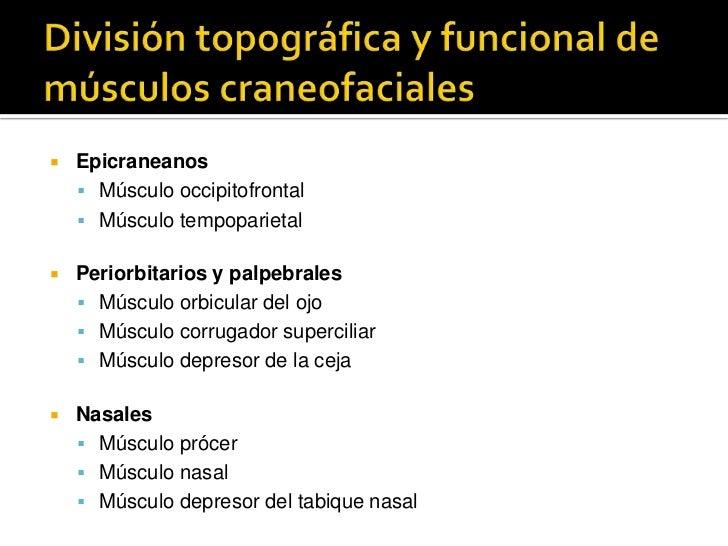 División topográfica y funcional de músculos craneofaciales<br />Epicraneanos<br />Músculo occipitofrontal<br />Músculo te...