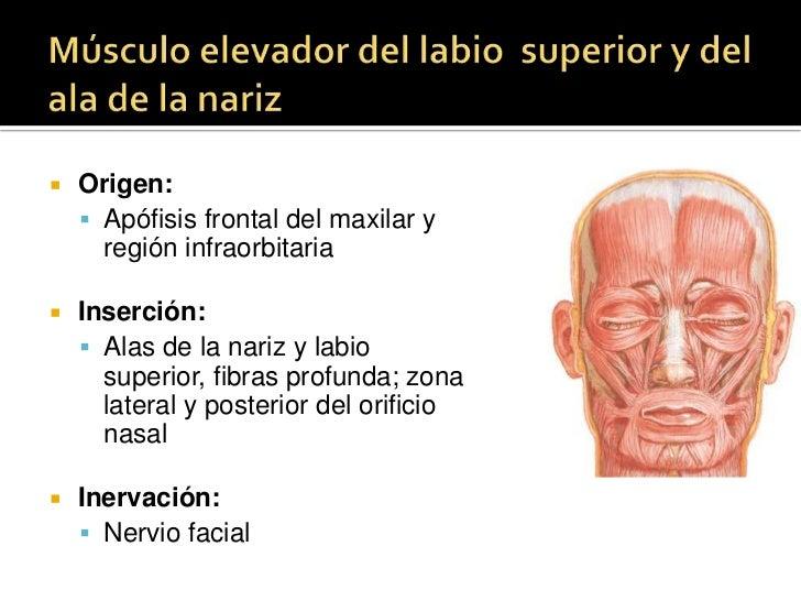 MÚSCULO PRÓCER<br />Se extiende desde los cartílagos laterales y los huesos nasales hasta la piel de la región frontal<br ...