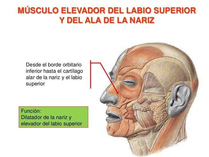 Músculo nasal<br />Origen: <br />Porción alar: eminencia alveolar del incisivo lateral<br />Porción Transversal: eminencia...