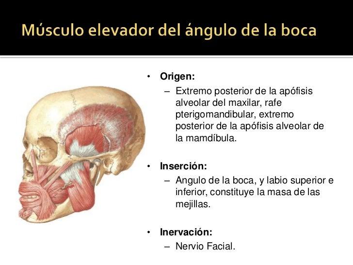 Músculo nasal<br />Pt<br />