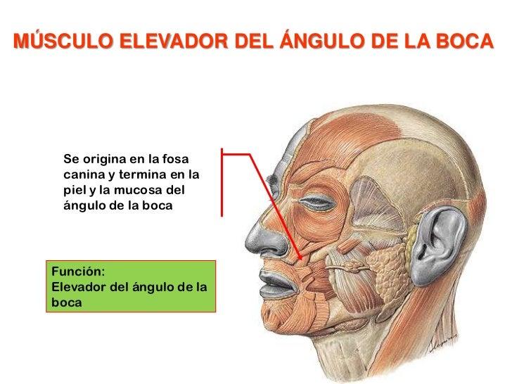 Músculo depresor del tabique nasal<br /><ul><li>Origen: