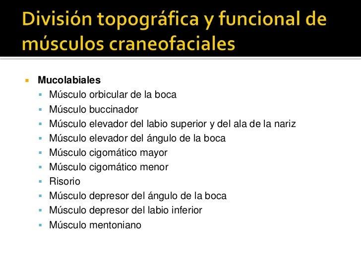 División topográfica y funcional de músculos craneofaciales<br />Mucolabiales<br />Músculo orbicular de la boca<br />Múscu...