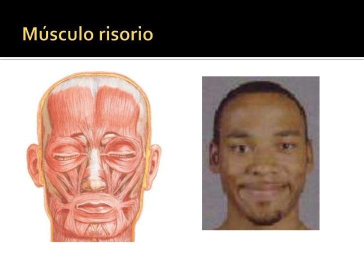MÚSCULOS DE LA BOCA<br />Músculo orbicular de la boca<br />Músculo buccinador<br />Músculo elevador del labio superior y d...
