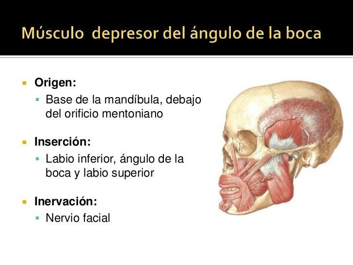 Músculo orbicular de la boca<br />Origen :<br />Porción marginal y porción lateral al ángulo de la boca.<br />Inserción: <...