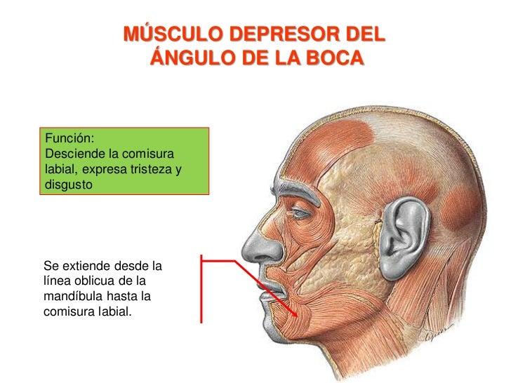 MÚSCULO ORBICULAR DE LA BOCA<br />Porción marginal: <br />Recibe fibras de los músculos de la nariz y del mentón.<br />Por...