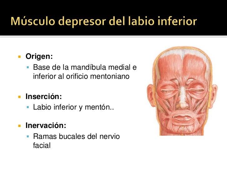 Músculo Buccinador<br />Origen: <br />Extremo posterior de la apófisis alveolar del maxilar, rafe pterigomandibular, extre...