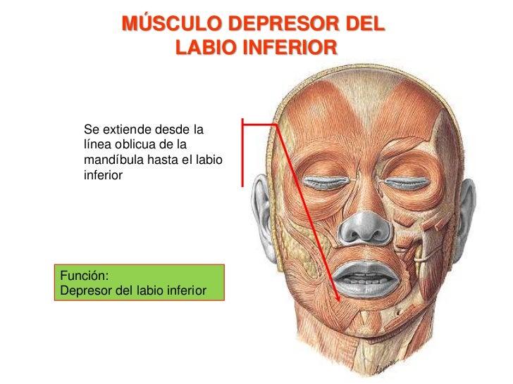 MÚSCULO BUCCINADOR<br />Se origina en el rafé medio pterigomandar, en la cara de los tres últimos alvéolos molares y se in...