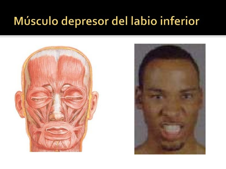 Músculo elevador del labio  superior y del ala de la nariz<br />Origen: <br />Apófisis frontal del maxilar y región infrao...