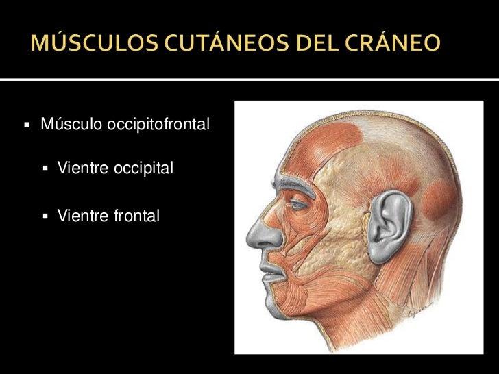 MÚSCULOS CUTÁNEOS DEL CRÁNEO<br />Músculo occipitofrontal<br />Vientre occipital<br />Vientre frontal<br />