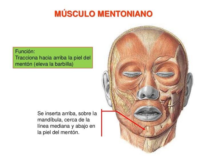 Músculo elevador del labio  superior y del ala de la nariz<br />