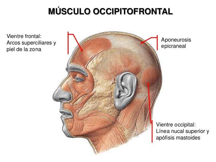 MÚSCULO OCCIPITOFRONTAL<br />Vientre frontal: <br />Arcos superciliares y piel de la zona<br />Aponeurosis epicraneal<br /...