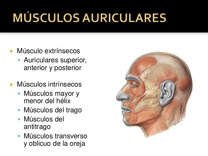 MÚSCULOS AURICULARES<br />Músculo extrínsecos<br />Auriculares superior, anterior y posterior<br />Músculos intrínsecos<br...