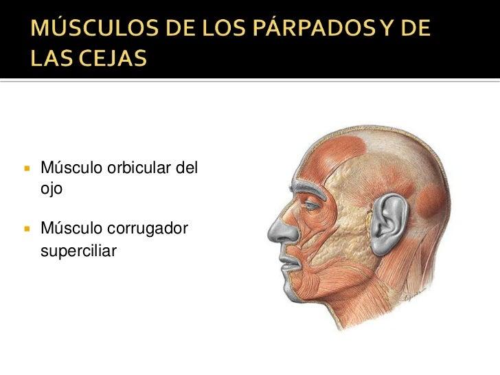 MÚSCULOS DE LOS PÁRPADOS Y DE LAS CEJAS<br />Músculo orbicular del ojo<br />Músculo corrugador superciliar<br />