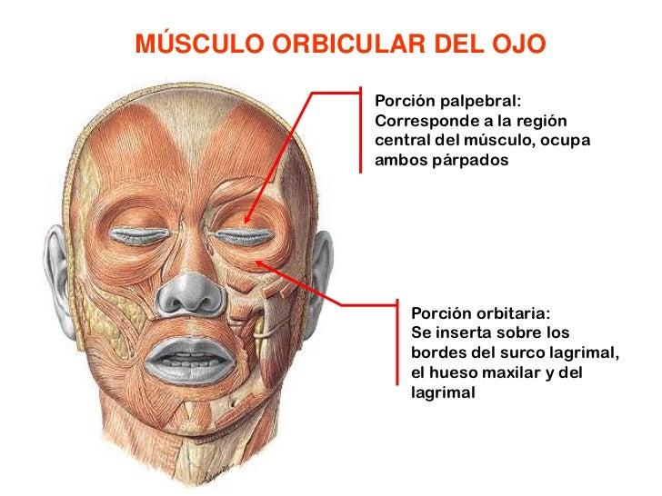 MÚSCULO ORBICULAR DEL OJO<br />Porción palpebral: Corresponde a la región central del músculo, ocupa ambos párpados<br />P...