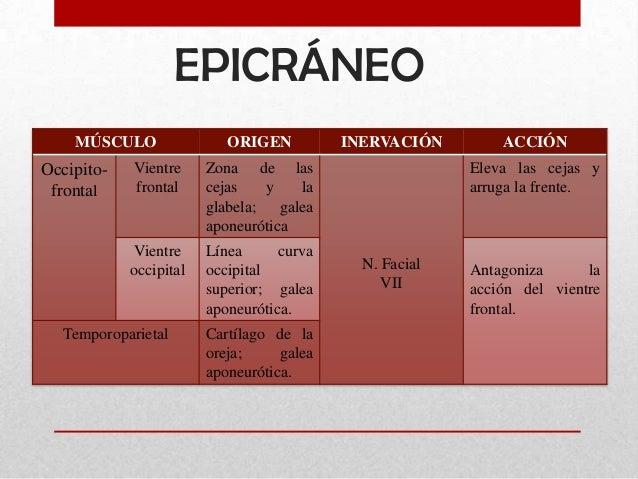 Músculos de la expresión facial Slide 3