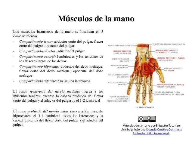 msculos-de-la-mano-1-638.jpg?cb=1483405787