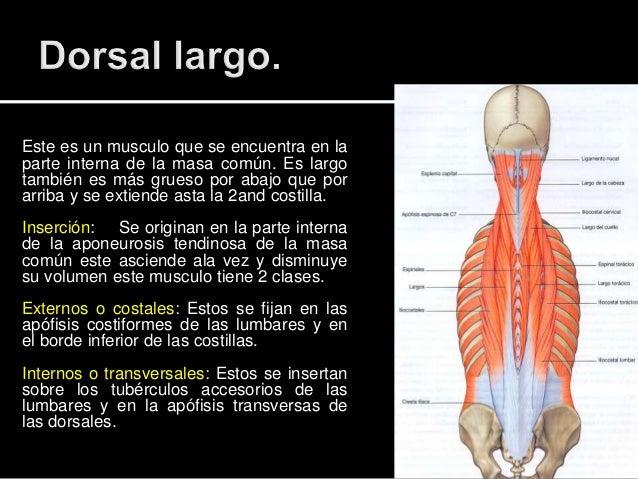 musculo de la espalda pdf