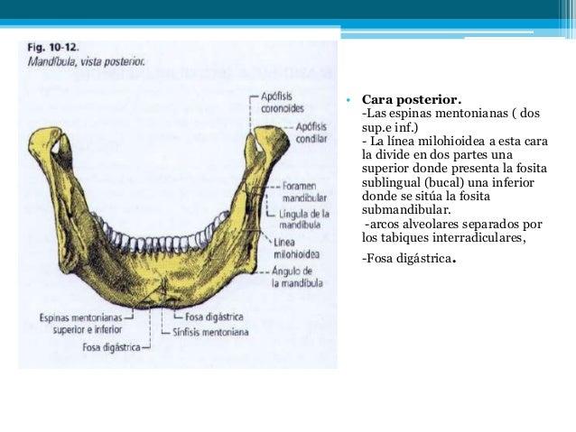 Músculos de la masticación, mandíbula y artería