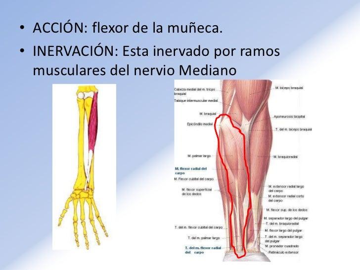 Contemporáneo Muñeca Y El Antebrazo Anatomía Ideas - Anatomía de Las ...