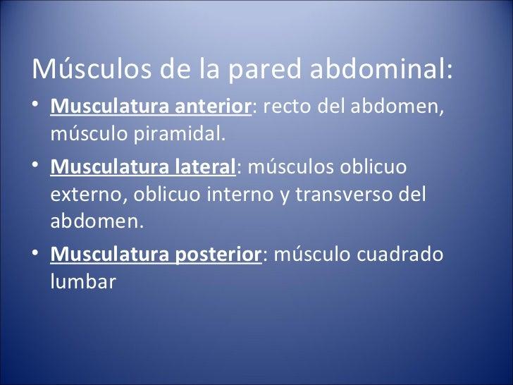 <ul><li>Músculos de la pared abdominal: </li></ul><ul><li>Musculatura anterior : recto del abdomen, músculo piramidal. </l...