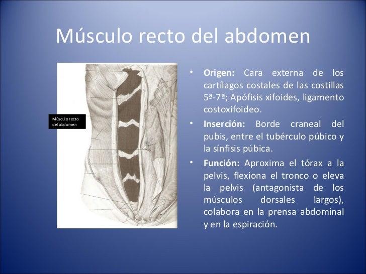 Músculo recto del abdomen <ul><li>Origen:  Cara externa de los cartílagos costales de las costillas 5ª-7ª; Apófisis xifoid...