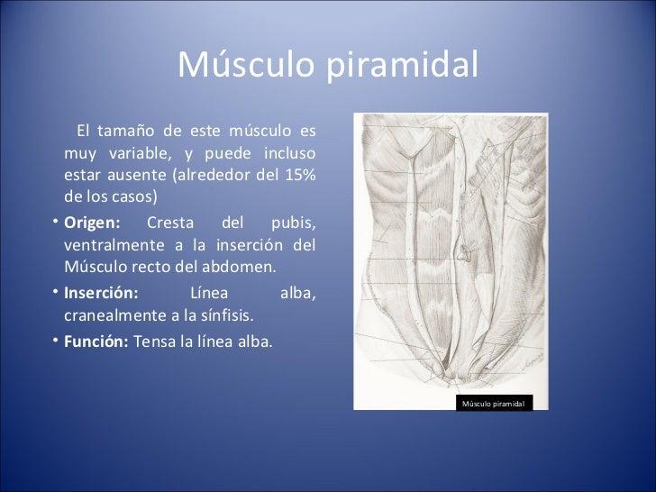 Músculo piramidal <ul><li>El tamaño de este músculo es muy variable, y puede incluso estar ausente (alrededor del 15% de l...