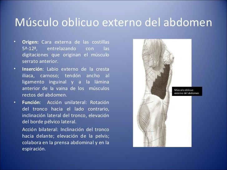 Músculo oblicuo externo del abdomen <ul><li>Origen:  Cara externa de las costillas 5ª-12ª, entrelazando con las digitacion...
