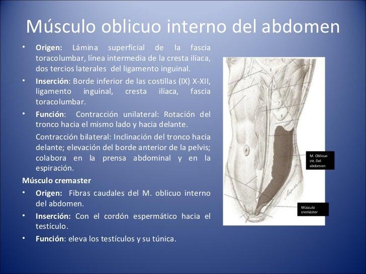 Músculo oblicuo interno del abdomen <ul><li>Origen:  Lámina superficial de la fascia toracolumbar, línea intermedia de la ...