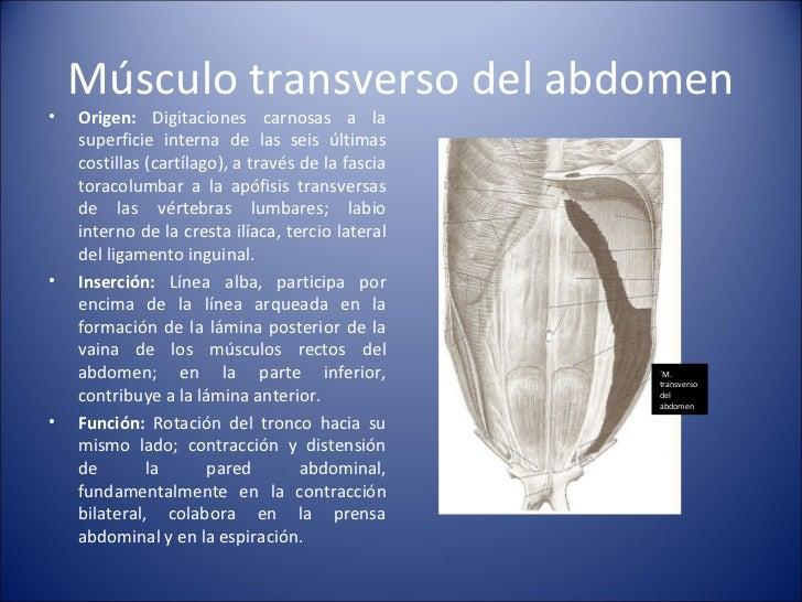 Músculo transverso del abdomen <ul><li>Origen:  Digitaciones carnosas a la superficie interna de las seis últimas costilla...