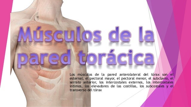 Los músculos de la pared anterolateral del tórax son el esternal, el pectoral mayor, el pectoral menor, el subclavio, el s...