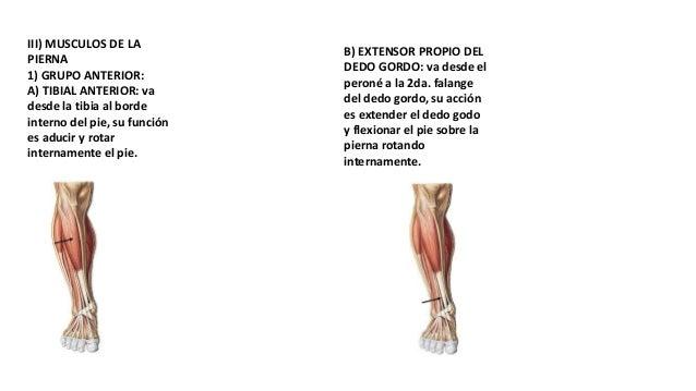 Músculos de la pierna,inervación y articulaciones del pie.