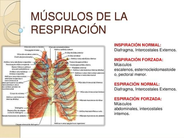 MÚSCULOS DE LARESPIRACIÓNINSPIRACIÓN NORMAL:Diafragma, Intercostales Externos.INSPIRACIÓN FORZADA:Músculosescalenos, ester...